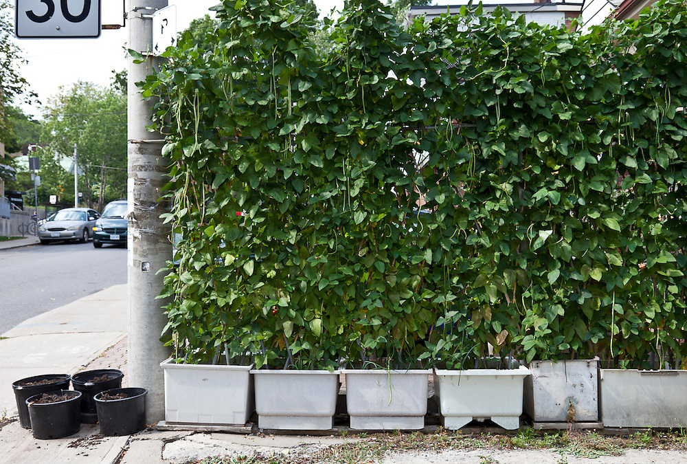 Maximizing space in a food garden with yard-long beans growing in containers.