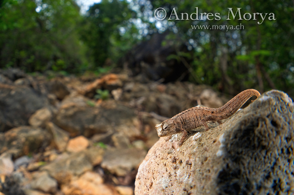 Plated Leaf Chameleon (Brookesia stumpffi), camouflaged on rocks, Ankarana National Park, Northern Madagascar. Image by Andres Morya