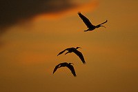 Three Scarlet Ibises (Eudocimus ruber) flying in an orange sky at sunset over the Orinoco River Delta, Venezuela.