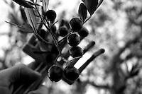 25/11/2010 Acquaviva delle Fonti, raccolta a mano delle olive mediante un rastrello di plastica....La raccolta delle olive e la produzione dell'olio extravergine sono un rituale che si protrae da moltissimo tempo in Puglia, questo avviene solitamente nel periodo che va da novembre a dicembre, mentre il lavoro di preparazione e coltivazione si svolge lungo tutto l'arco dell'anno..La raccolta è seguita nella maggior parte dei casi, quando le olive non vengono vendute all'ingrosso, dalla molitura presso gli oleifici per la produzione di quello che da queste parti viene chiamato anche oro verde..