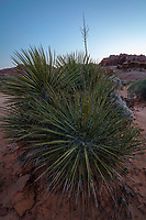 A group of spiky yucca plants in the Valley of Fire State Park in Nevada at sunset.