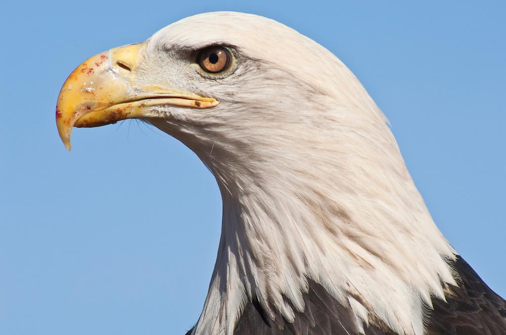 Bald Eagle, Haliaeetus leucocephalus, Sandstone, Minnesota, USA