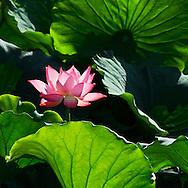 Vietnam Images-flower-nature-Lotus -Hoàng thế Nhiệm