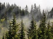 Fog and evergreen trees in Mount Rainier National Park, Washington, USA.