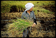 Woman surveys crops as she cradles sheaf of rice harvested from typhoon-damaged field;Utsunomiya Japan