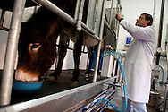 Filipe Carvalho, one of the owners of the company, in the milking parlor.<br /> It is said that Cleopatra always took her bath in donkey milk to keep her beauty eternal. Far beyond the aesthetic benefits, the donkey milk is in the animal world the closest to the human maternal milk and was used as it&acute;s substitute until the twentieth century. More recent findings indicate that the donkey milk can also be consumed by children allergic to cow's milk.<br /> Despite all this, the great utility of the donkey had always been their mobility and strength, with the mechanization of agriculture and the development of transportation, the donkey began to be used less and less. In Portugal, in the twentieth century, a very partircular kind of donkey came in the process of extinction, the race of Miranda.<br /> Four years ago two businessmen in Portugal decided to merge these two factors and create Naturasin, a company dedicated to preserving the kind of Miranda by producing she donkey milk and selling it to the cosmetic industry.<br /> The small farm in Couco a village 100 km from Lisbon is this days selling milk to countries as far away as South Korea, it has 50 she donkeys and in 2011 were born in the farm 17 copies of the endangered species. In Portugal. 20/01/2012 NO SALES IN PORTUGAL