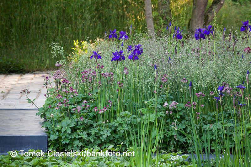 Iris sibirica 'Dark Desire' between ornamental grass and perennials