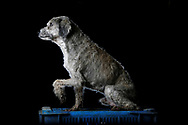 """Petete is pictured at the Famproa dogs shelter in Los Teques, Venezuela August 16, 2016. Petete has spent over eight years in the shelter. """"When the dog arrived, he had worms and sores on a leg. It was hard to heal and even when it did, his leg never fully functioned again. He is loving, but only until it is meal time, because then he fights with everyone and bites anyone who comes close,"""" said Maria Silva who takes care of dogs at the shelter. REUTERS/Carlos Garcia Rawlins"""