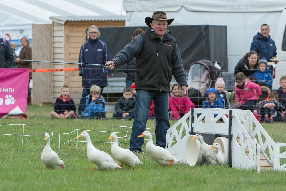 Donald Stuart puts his dog Rose through her paces herding ducks at the Canterbury A&P Show, Christchurch, New Zealand, November 11, 2015. Credit: SNPA /  David Alexander.