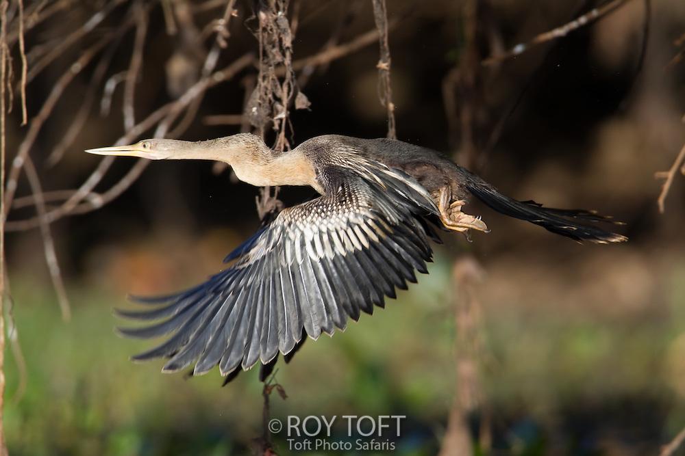 Anhinga (Anhinga anhinga), Pantanal, Brazil