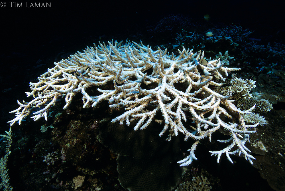A recently bleached staghorn coral.