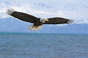 Bald Eagle, Haliaeetus leucocephalus, flying, Kenai Peninsula, Homer Spit, Homer, Alaska. Digitally manipulated, #2006_0186x ©Robin Brandt