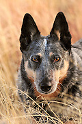 A 5-year-old female Australian Cattle Dog, or Queensland Blue Heeler, who is hearing impaired, on the Elephant Head Trail, Green Valley, Arizona, USA.