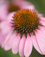 Purple coneflower, Evergreen, CO