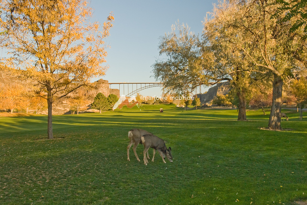 Deer grazing in the shade at Blue Lakes Country Club during autumn in the Snake River Canyon in Twin Falls, Idaho.