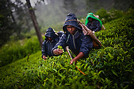 Tea pluckers harvest tea leaves at the the Hollyroad Estates tea plantation near the town of Hatton in central Sri Lanka December 14, 2009.  Pluckers have a target of picking 16 kilograms of the leaves bu on average pick between 25-28 kilograms which will earn them about $5 per day.