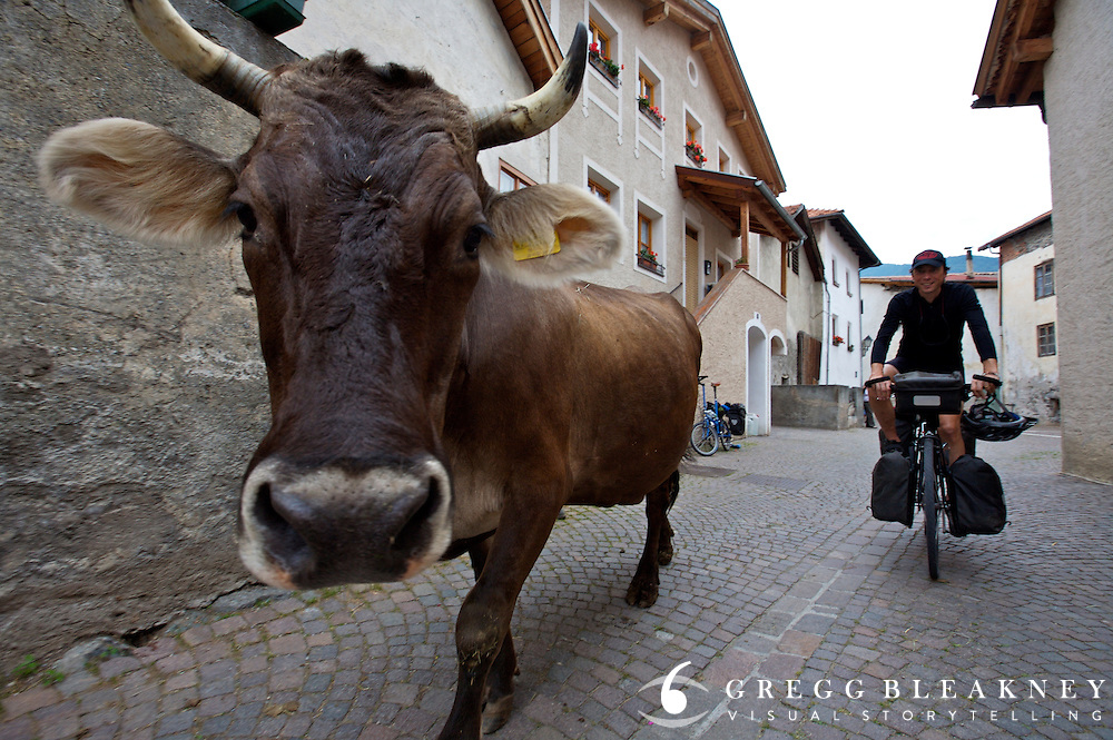 Cow meets touring cyclist - Glurns - Italy