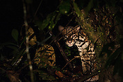 Ocelot (Leopardus pardalis)<br /> Mapari<br /> Rupununi<br /> GUYANA<br /> South America<br /> RANGE: South & Central America, Mexico Trinidad and southern USA