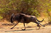 Migrating Blue Wildebeest running to catch up the herd,Grumeti,Tanzania