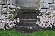 Daisies along steps, Schaffhausen, Switzerland