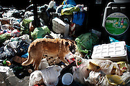 Napoli, Italia - 3 novembre 2010. Un cane randagio cerca cibo tra un cumulo di spazzatura non raccolta nel centro di Napoli..Ph. Roberto Salomone Ag. Controluce.ITALY - A dop seeks food inside a huge pile of uncollected garbage downtown Naples on November 3, 2010.