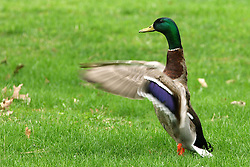 19 April 2008: A duck visits a green lawn and flaps his wings (Photo by Alan Look)