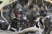African Wild Dog<br /> Lycaon pictus<br /> 5 week old pup(s) in den<br /> Northern Botswana, Africa<br /> *Endangered species