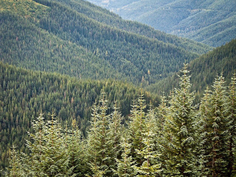 Tahoma State Forest with a Noble Fir and Silver Fir forest, Washington state, USA