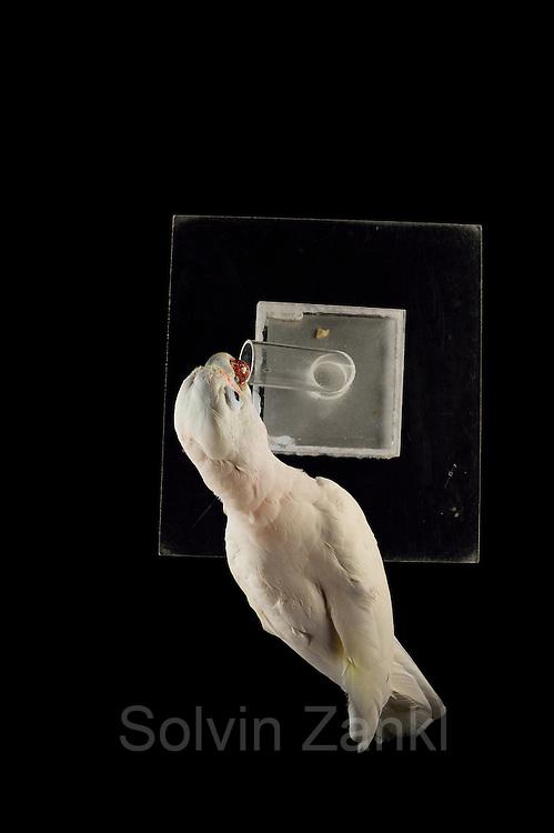 [captive] Goffin's cockatoo (Cacatua goffiniana). In this experiment, the cockatoo learns to use a tool. It needs to use a small ball to remove a treat (peanut) from a box. Goffin's cockatoos or Tanimbar Corellas are endemic to the Tanimbar archipelago in Indonesia. Research on their cognitive abilities is done in the Goffin Lab (Lower Austria) by Dr. Alice M. I. Auersperg. | Goffinkakadu (Cacatua goffiniana). In diesem Versuch muss der Goffinkakadu erlernen, mit einer Kugel eine Belohnung (Erdnuss) heraus zu kegeln, um sie zum Rausfallen aus einer ansonsten unzugänglichen Box zu bringen. Der Kakadu lernt hierbei den Werkzeuggebrauch. Der Goffinkakadu ist eine Papageienart und kommt in freier Wildbahn ausschließlich auf der indonesischen Inselgruppe Tanimbar vor. Forschung zu kognitiven Fähigkeiten des Goffinkakadus wird im Goffin Lab (Niederösterreich) von Dr. Alice M. I. Auersperg durchgeführt.