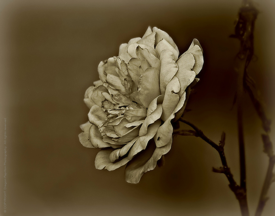 nature shot: flower in sepia tones