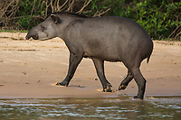 A tapir, Tapirus terrestris, walking on the shore of  the Cuiaba River in the Pantanal of Brazil.