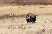 Large Grizzly Bear walking around in Yellowstone National Park Wyoming.