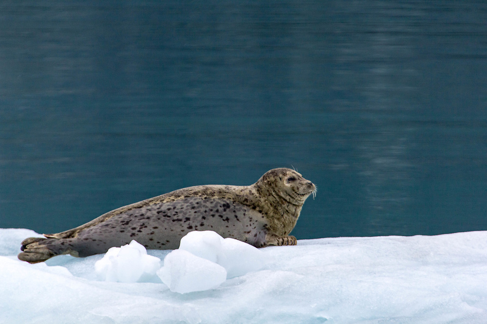 This little seal was quite happy on his perch in front of Marjorie Glacier, Glacier Bay, Alaska.