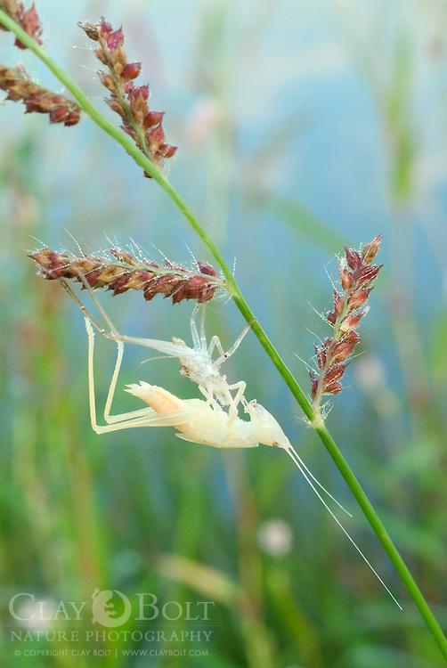 Meadow Katydid (Orchelimum sp.), Molting by Pond, Clemson, South Carolina, USA