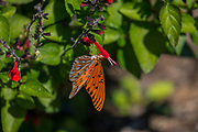 Gulf fritillary, Agraulis vanillae, feeding, salvia, Anahuac National Wildlife Refuge, coastal marsh, Texas, winter