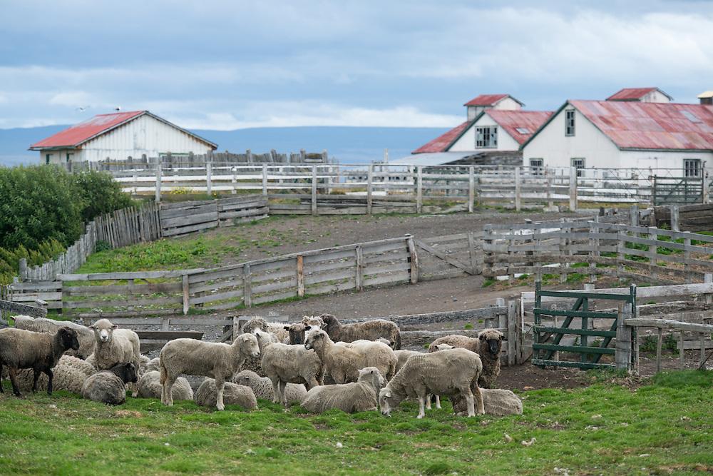 Sheep, Estancia rio verde, chile