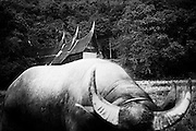 a bull in front of rumah gadang. According to the tale of Minangkabau, a bullhorn-like roof symbolizes the glory of the community.