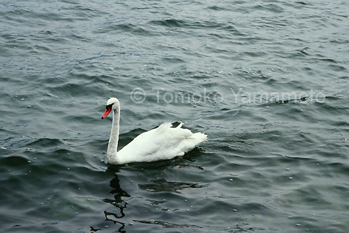 "A swan glides along over the waves of Traunsee (Lake Traun) in Gmunden, Austria.  In the poem, ""Auf dem Wasser zu singen,"" the poet refers to the boat which  glides like the swan."