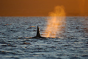 Orca or Killerwhale (Orcinus orca) feeding on herring in the Tysfjord area (Norway). Male Orcas grow up to 7 m, while females are aout 5 m in length. [size of single organism: 6 m]