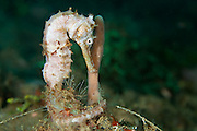 Smooth Seahorse (Hippocampus kampylotrachelos) - Indonesia