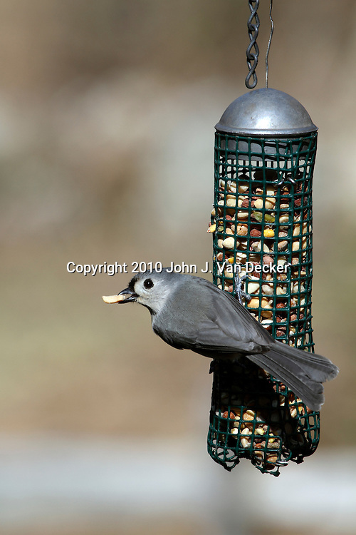 Tufted Titmouse, Baeolophus bicolor, eating a nut at a birdfeeder. New Jersey, USA, North America.
