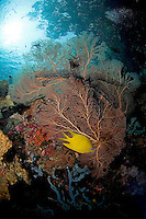 Golden Damsel, Sea Fan, and Overhanging Jungle