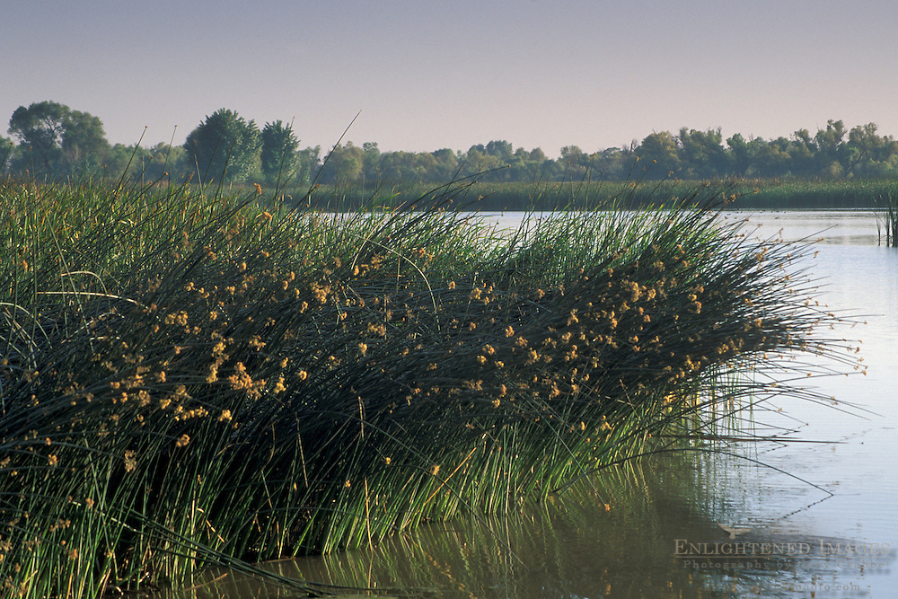 Reeds and pond water at Los Banos State Wildlife Area, Central Valley, Merced County, California