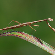 Euchomenella sp. Mantis in Khao Kheow National Park, Thailand.