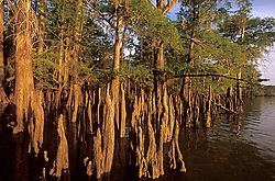 Stock photo of cypress trees coming up from the river