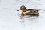 Yellow-billed Teal (Anas flavirostris) from Sea Lion island, the Falklands