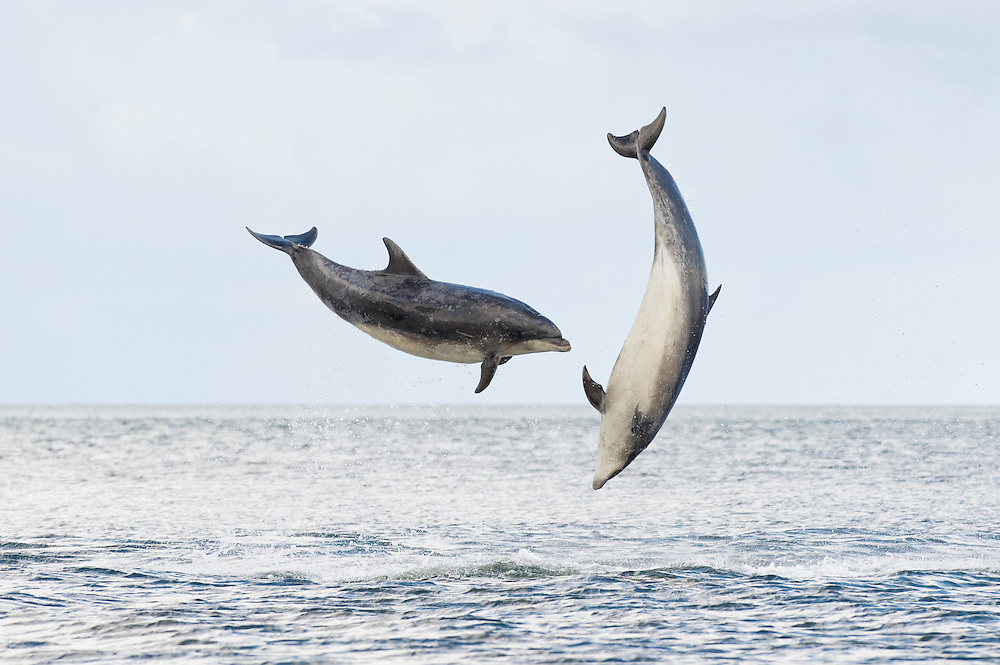 Bottlenose dolphin (Tursiops truncatus) , Moray firth, Scotland, UK. Adults breaching together.