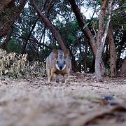 Tammar Wallabies in Kangaroo Island.