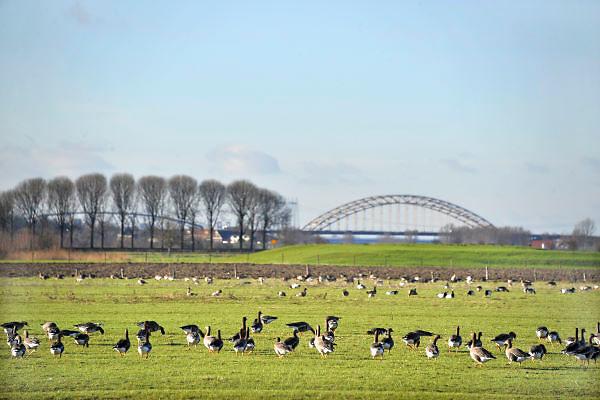 Nederland, Ubbergen, 18-2-2013Wilde grauwe ganzen in de Ooijpolder bij Nijmegen. Op de achtergrond de Waalbrug, verkeersbrug over de waal. Foto: Flip Franssen/Hollandse Hoogte