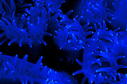 close up of coral polyps Photographed in the Red Sea Israel
